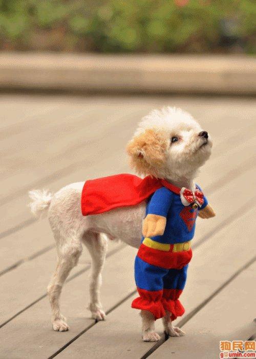 Hilarious Dogs. Funny Dog Photos. I am superdog.