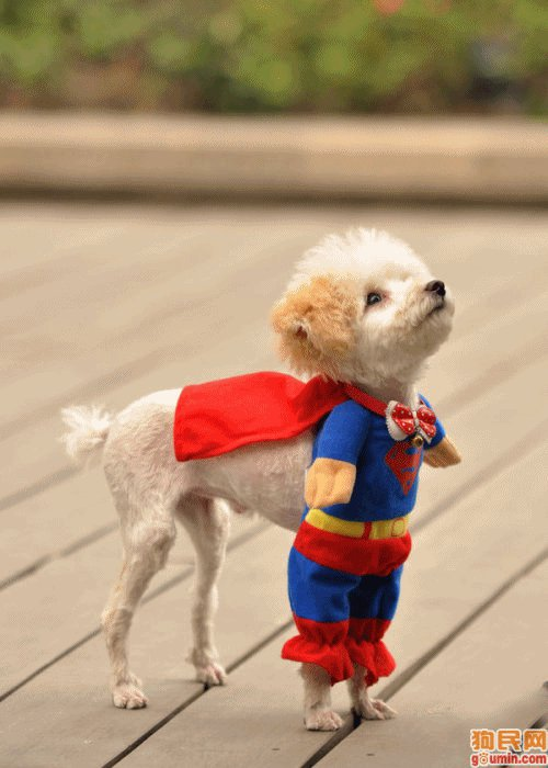Dog in Superman Costume & Funny Picture: Dog in Superman Costume | Geek Montage